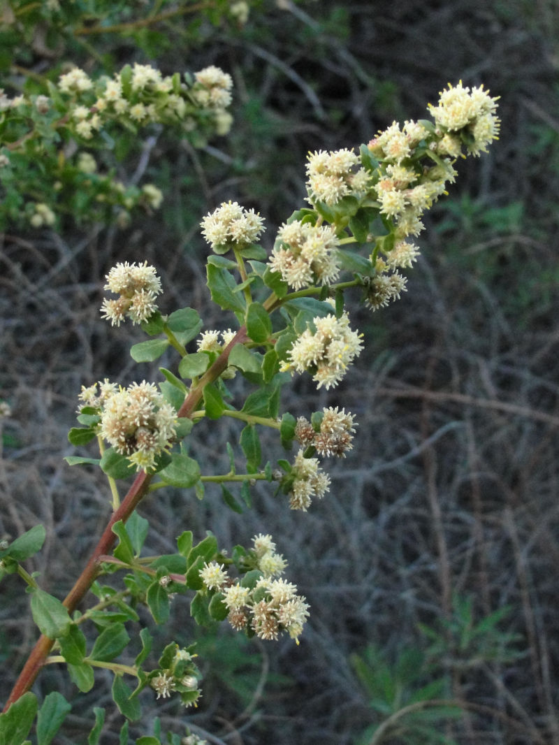 Coyotebrush is one of the plants studied in the California Phenology Project. It's dioecious with separate plants having the male and female flower parts.