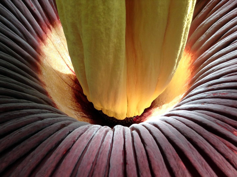 Berkeley 'Corpse Flower' Blooming Soon in All Its Disgusting Glory