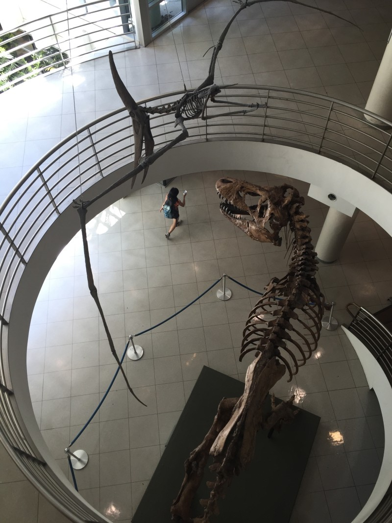 A fossilized Pteranodon swoops above Tyrannosaurus rex at the University of California Museum of Paleontology in Berkeley.