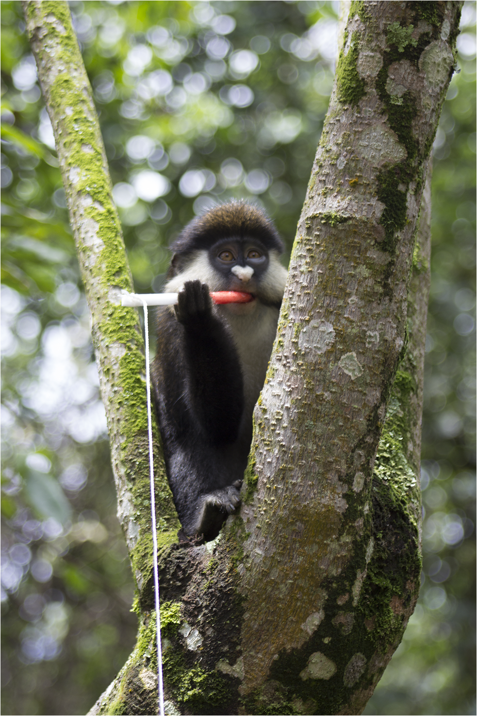 Red-tailed guenon in Bwindi Impenetrable Forest, Uganda. (T. Smiley Evans/UC Davis)
