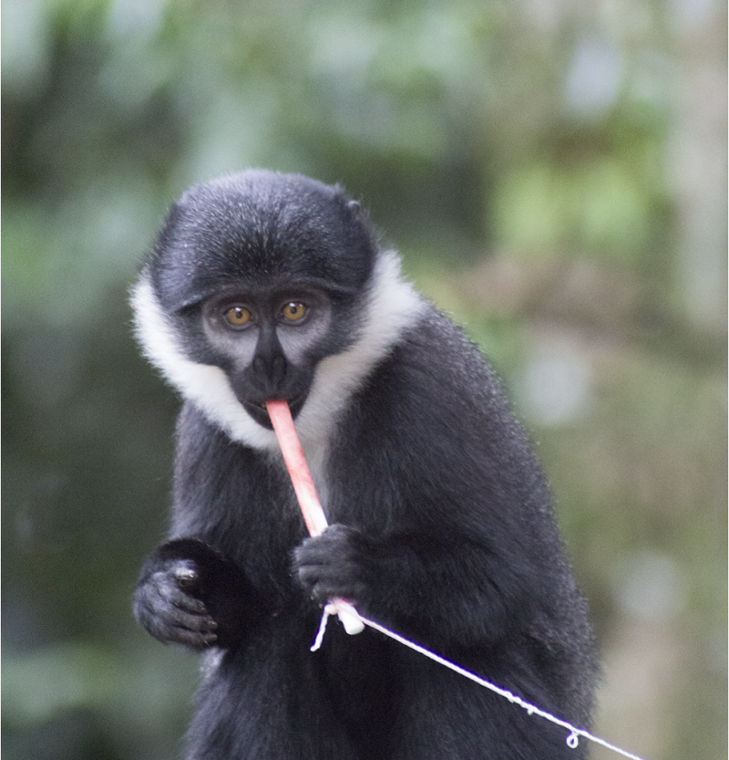Monkey Viruses: Predicting Pandemics With Strawberry Jam