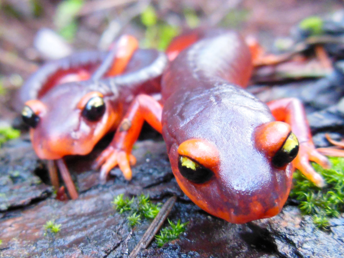Killer Fungus Could 'Devour' California's Salamanders