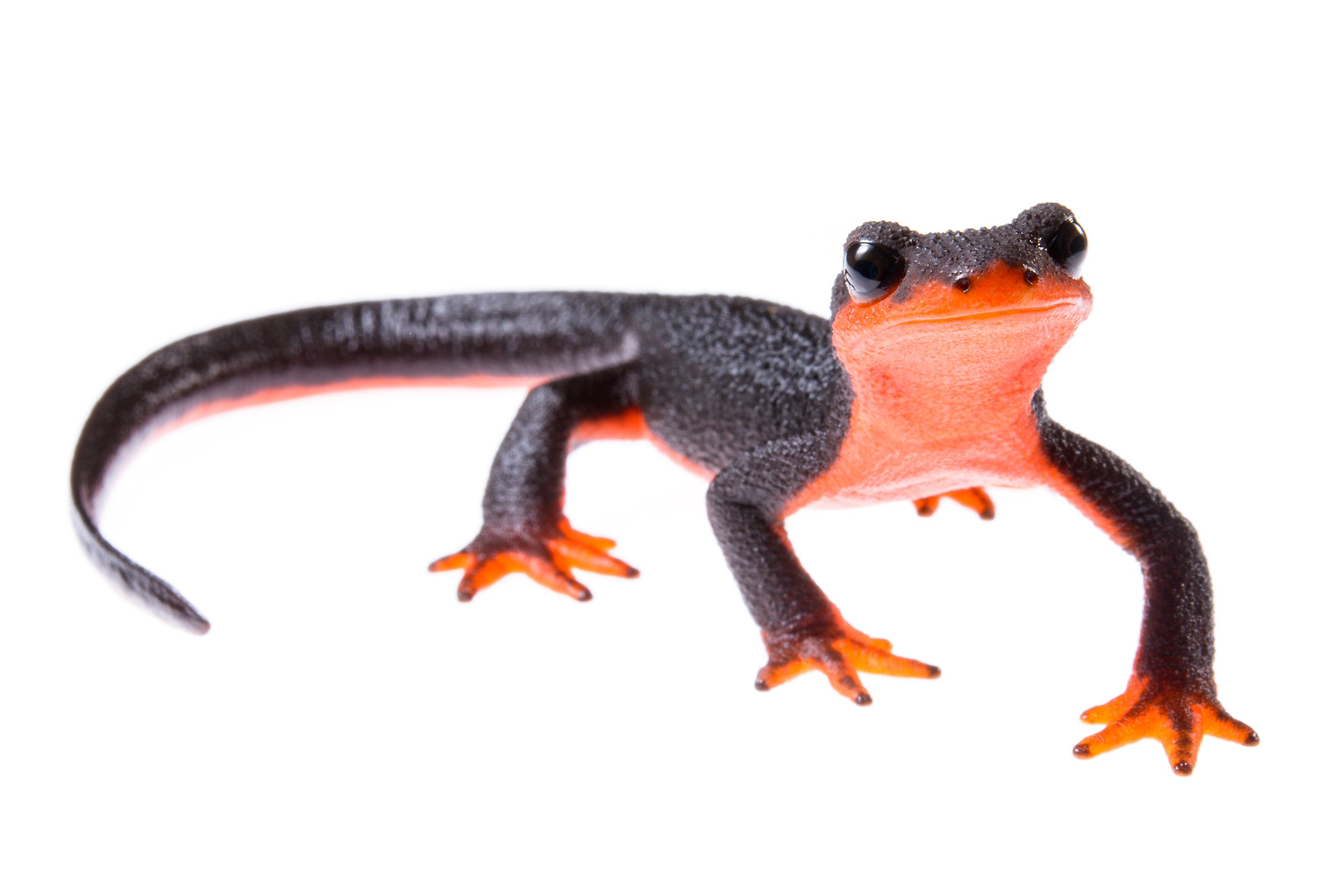 The red-bellied newt, common along the coast in northern California, migrates from upland areas to breed in streams in the spring. It is one of hundreds of species of salamanders endemic to North America threatened by an emerging infectious pathogen.