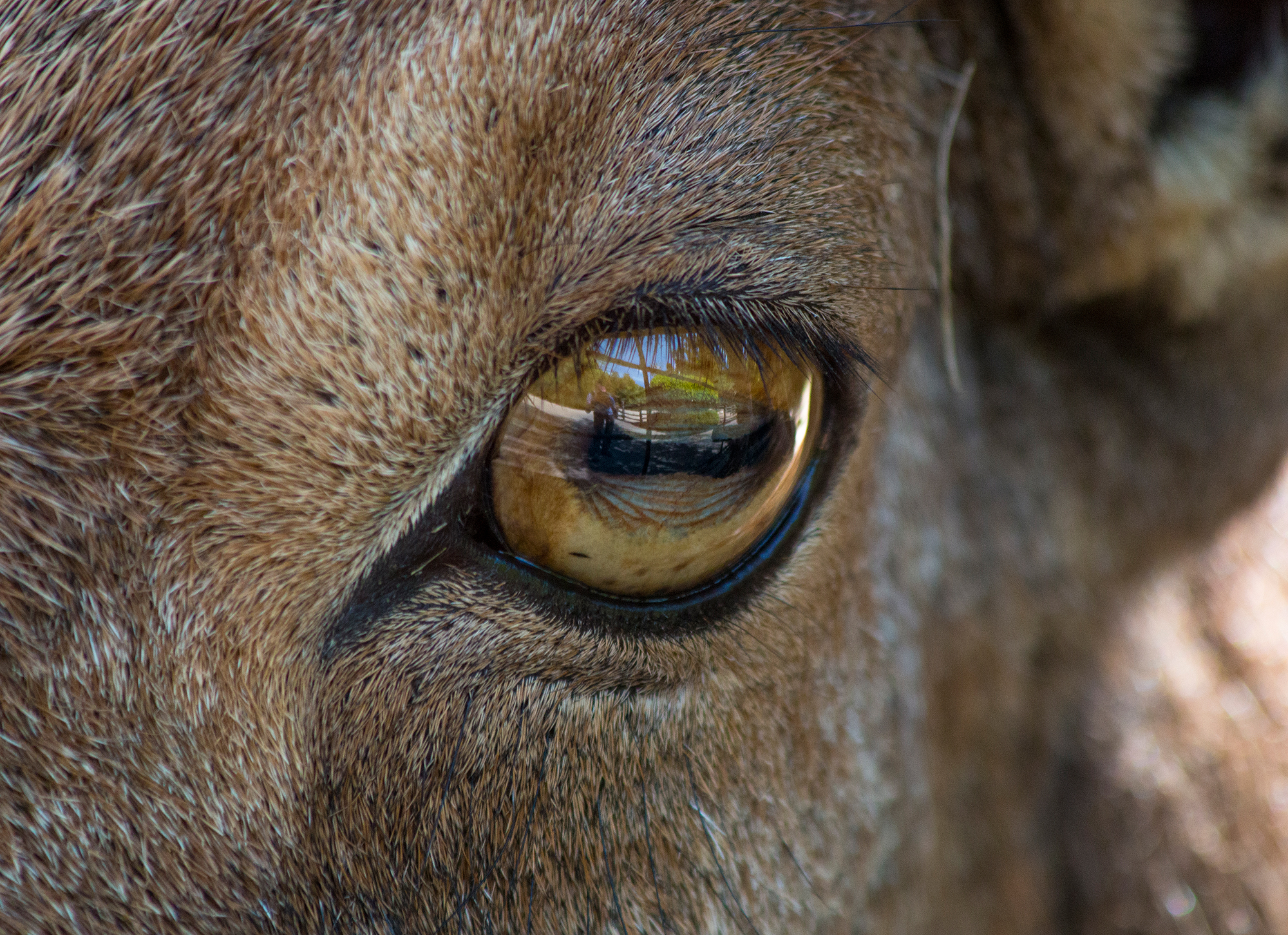 Barbary sheep, like many other grazing prey animals, have horizontal pupils and eyes on the side of their heads.
