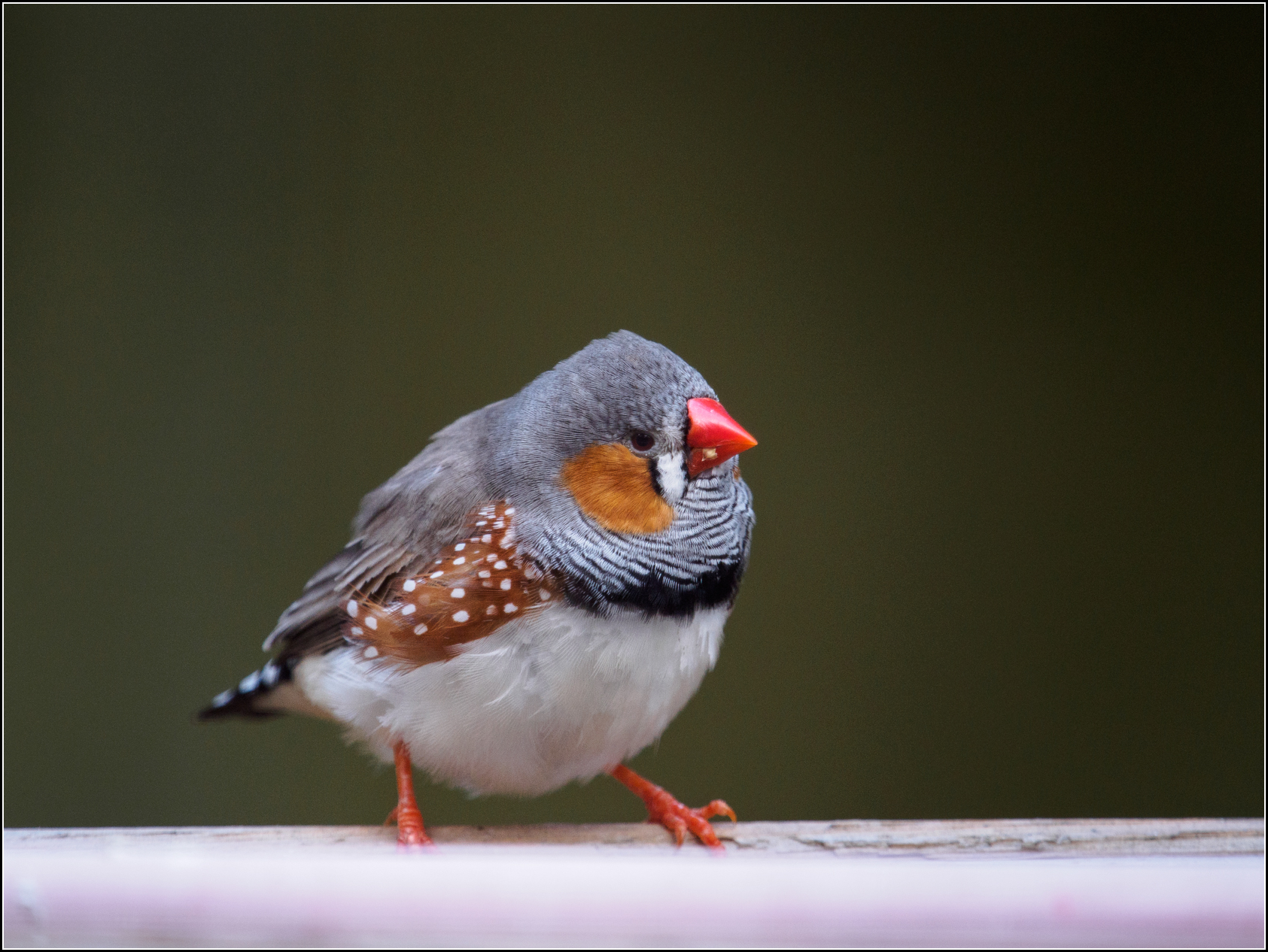Zebra Finches are native to Australia but have become excellent lab models for scientists to study the neuroscience of song learning.