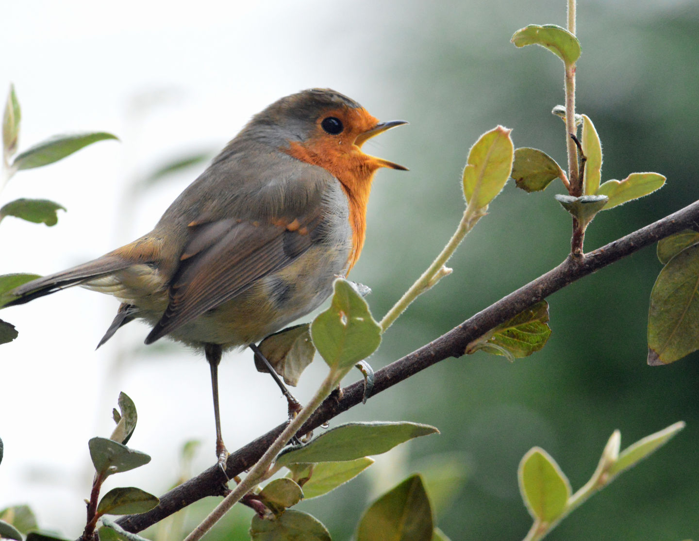 How the Songbird Learns to Sing