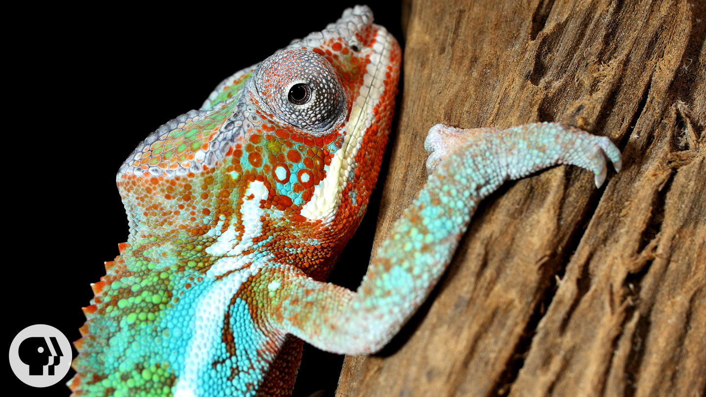 Nature's Mood Rings: How Chameleons Really Change Color