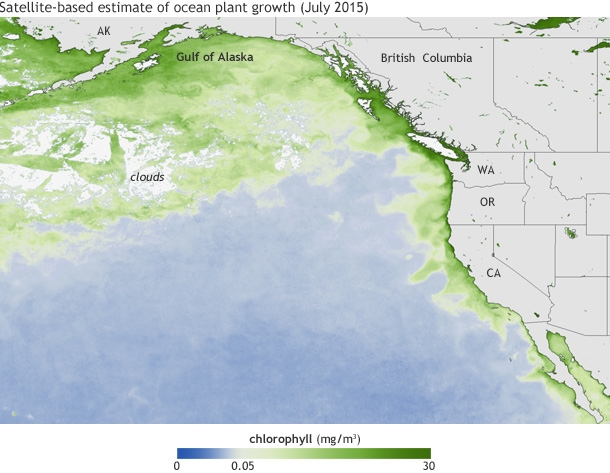 Average chlorophyll concentrations (in milligrams per cubic meter of water) in July 2015. The darkest green areas have the highest surface chlorophyll concentrations and the largest amounts of phytoplankton—including both toxic and harmless species.