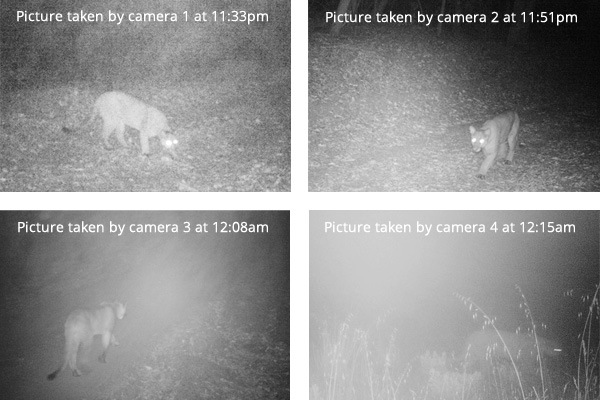 Wildlife cameras capture a  puma in 2014 walking the length of the corridor then turning around at the highway - exactly where the land trust plans to build the wildlife tunnel.