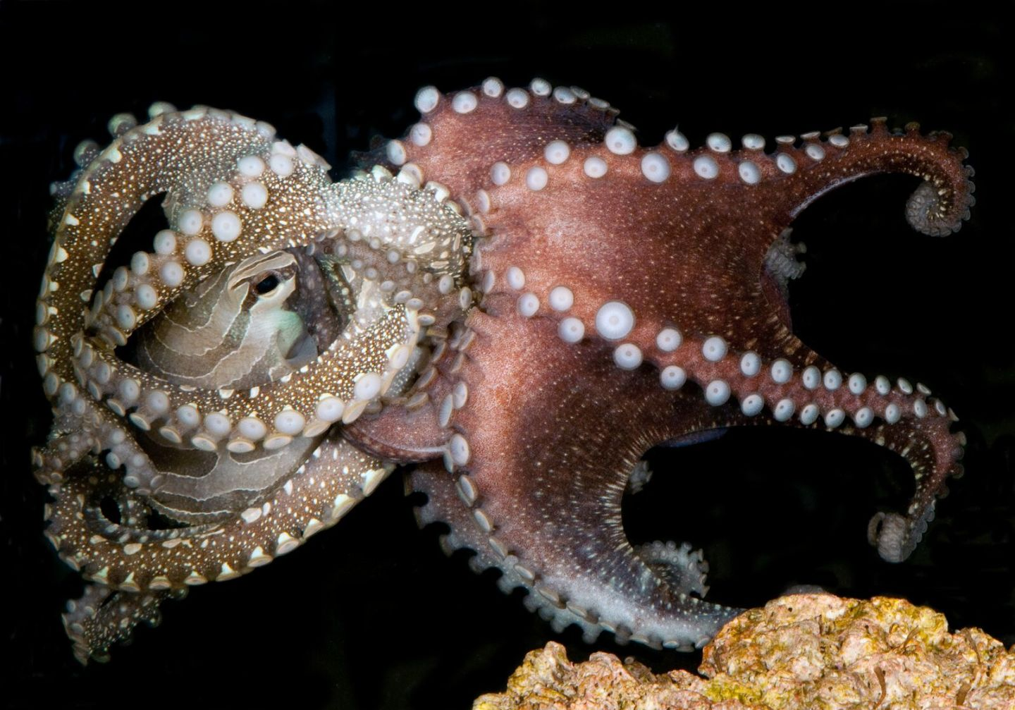 Harlequin Octopus Makes Scientists Question 'Anti-Social' Stereotypes