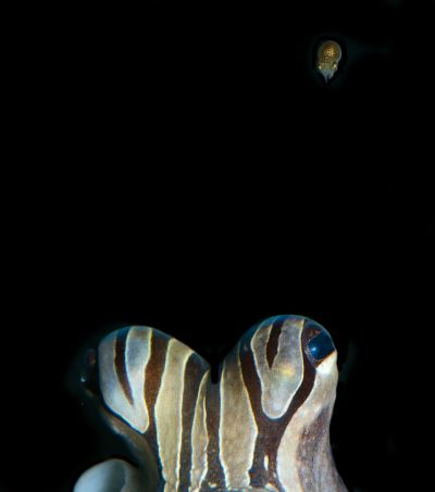 Female and hatchling larger Pacific striped octopuse