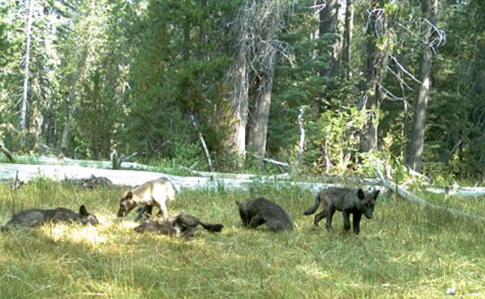 "The newly named ""Shasta pack"" as photographed by a remote camera."