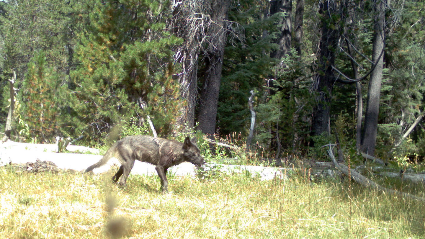 Gray Wolf Pups Found in California -- First in Nearly a Century