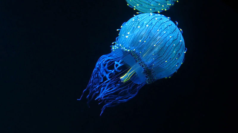 The flower hat jelly (Olindias formosus)
