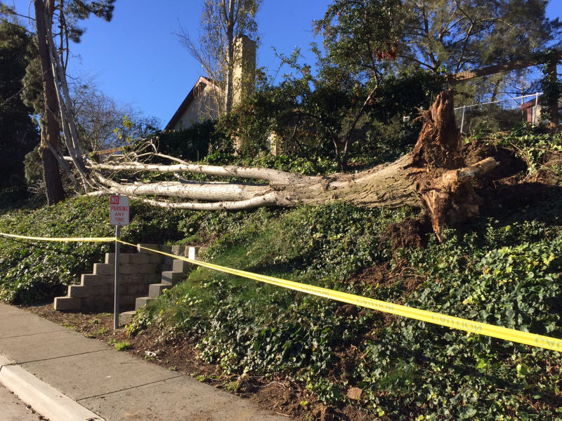 A weakened tree is uprooted in Vallejo by winds from one of last winter's rare atmospheric river storms.