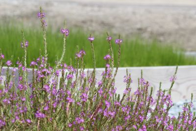 The new marsh will be beautiful as well as functional. California loosestrife (Lythrum californicum) is one of the native plants grown for the project.