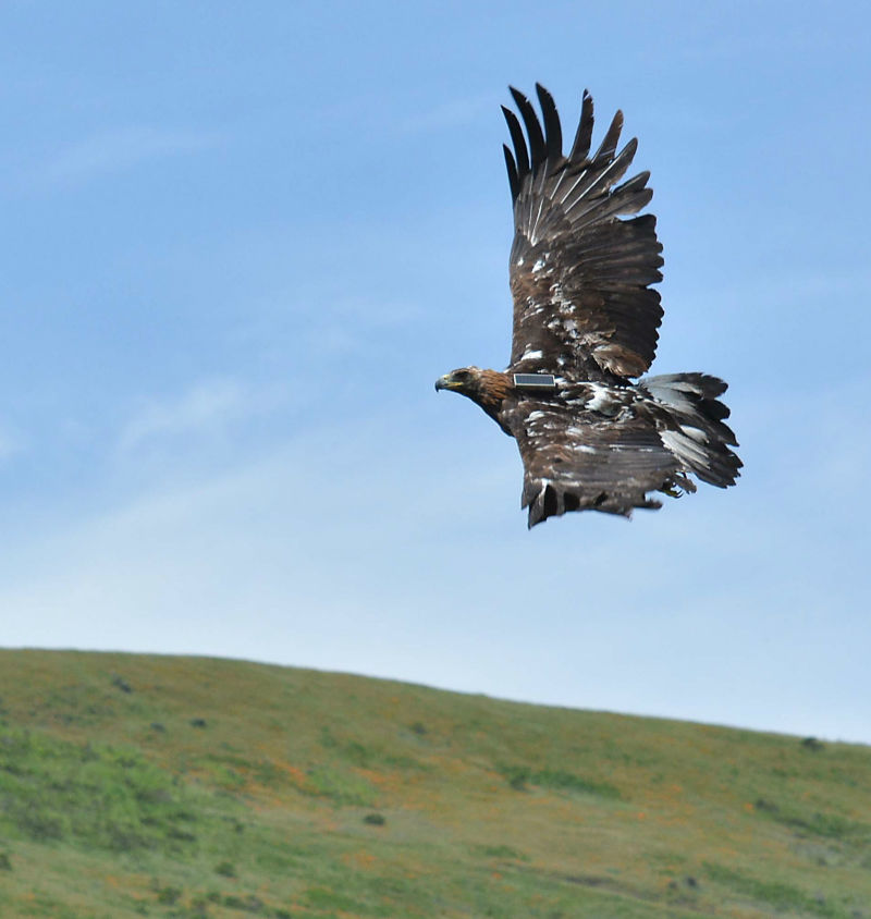 Biologists are studying golden eagles in the Altamont Pass by placing radio transmitters on them.
