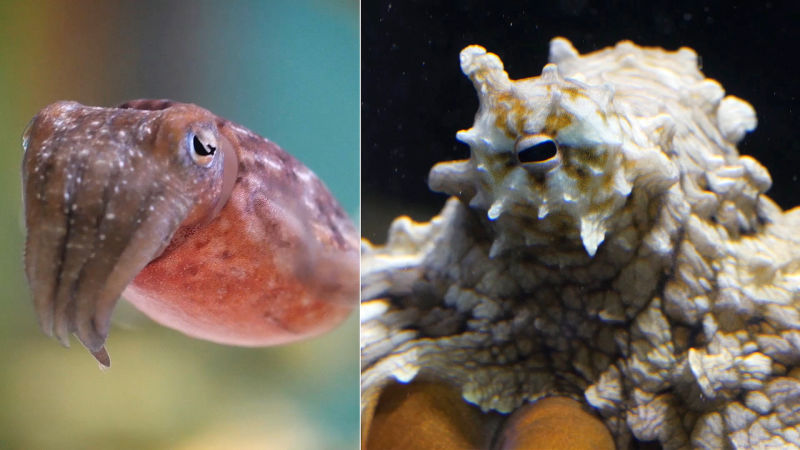 Cuttlefish and octopuses use closely packed chromatophores to match the color of their surroundings