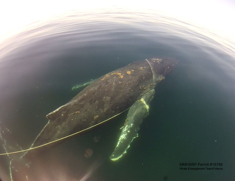 In 2010, there were 16 whale entanglement reports in California. This year there have been more than 40.