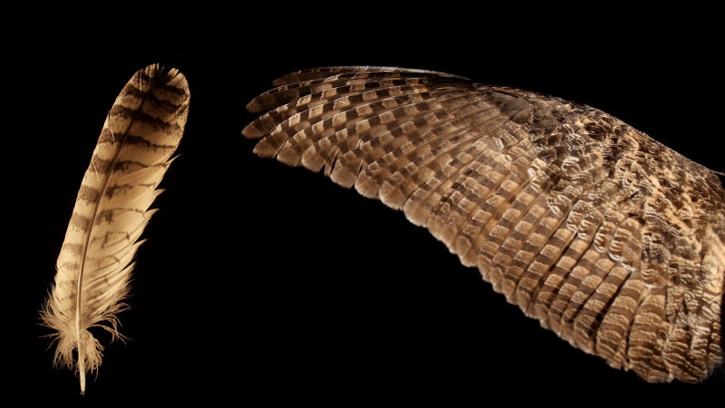 Eurasian eagle-owl feather and wing