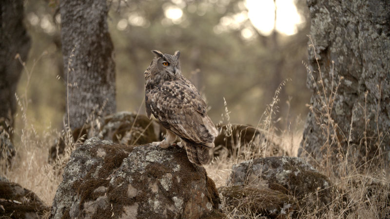 Owls use camouflage and the cover of darkness to ambush prey