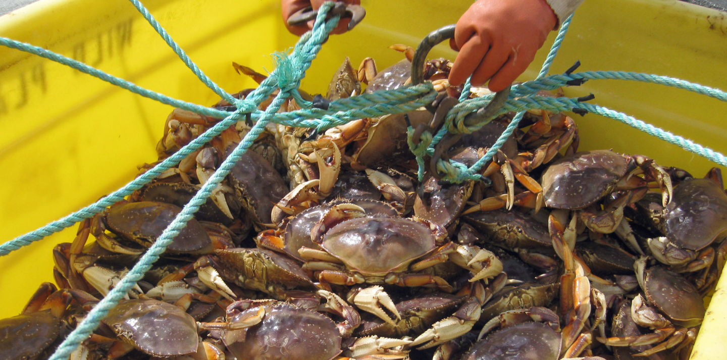 Officials are expected to delay the commercial Dungeness crab season in California. CA Department of Fish and Wildlife.
