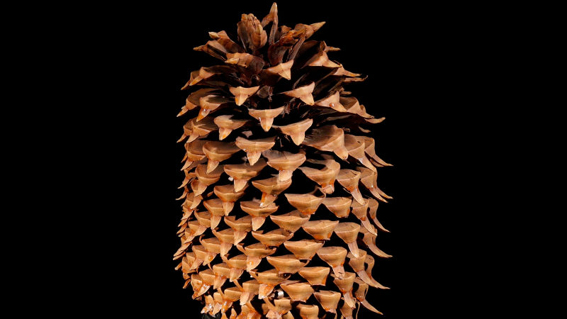 Coulter pines have the largest seed cones of any pine tree
