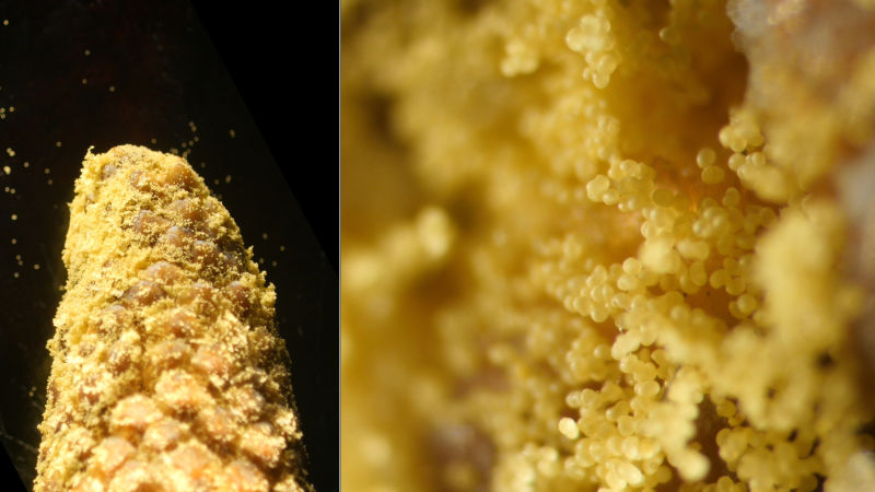 Viewed here under a microscope, a male cone produces copious amounts of tiny pollen grains that will be carried by wind to seed cones