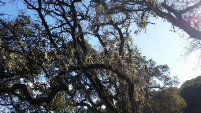 It's commonly found along the coast, often in the branches of coast live oaks.