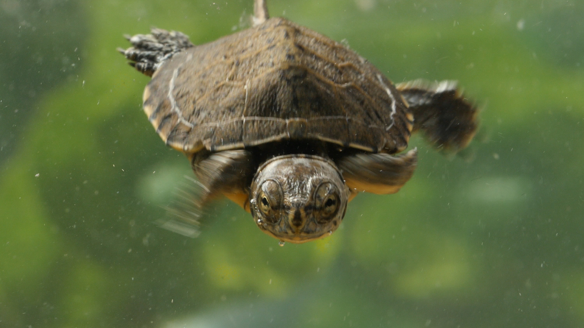 These crazy cute baby turtles want their lake back deep look kqed science - Cute turtle pics ...
