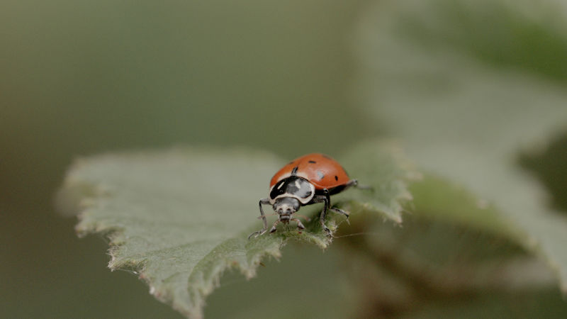 Ladybugs normally live solitary lives.