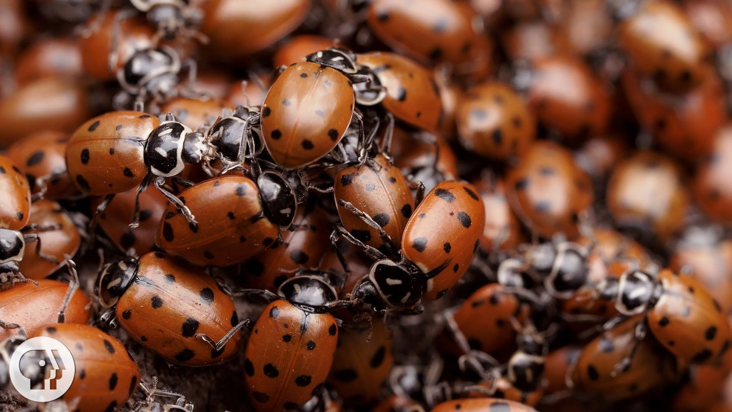 The Once-In-A-Lifetime Ladybug Love-In