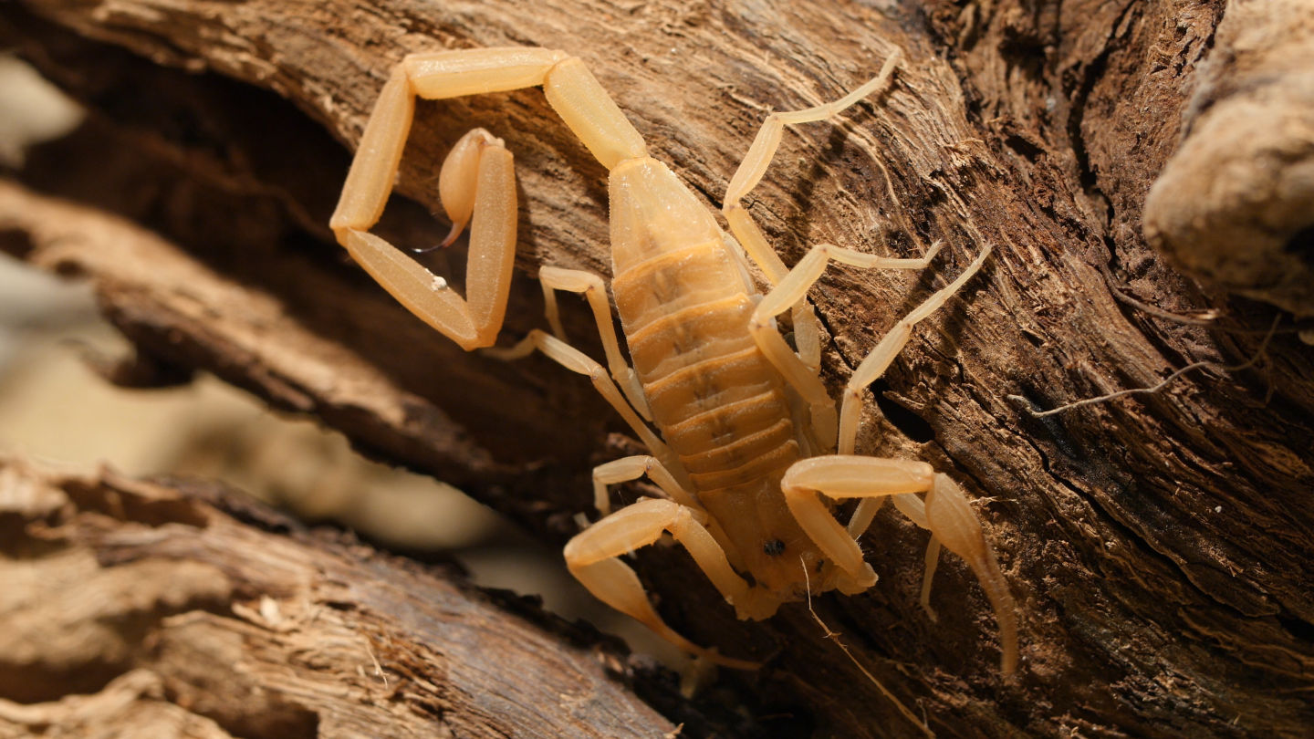 The Arizona bark scorpion's preference for hanging to the underside of objects makes dangerous encounters with humans more likely.