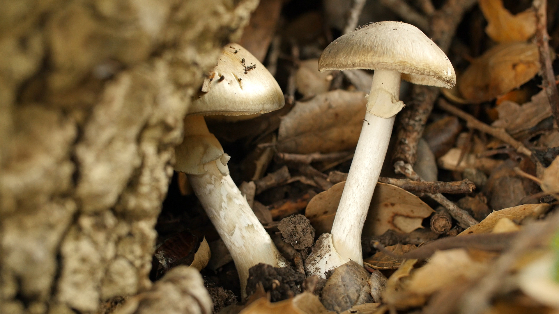 this mushroom starts killing you before you even realize it deep