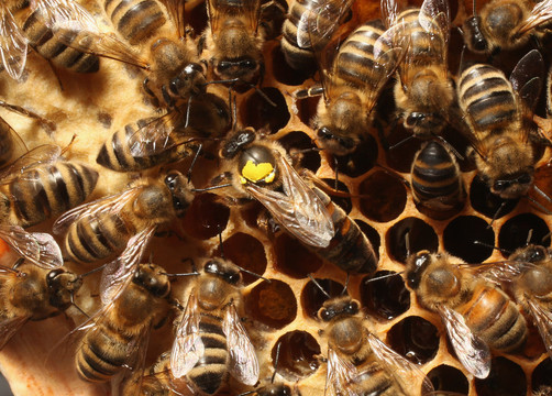 Worker bees surround a queen, who is marked with a yellow spot on her back, Bees are essential in nature in pollinating a wide variety of plants and trees.