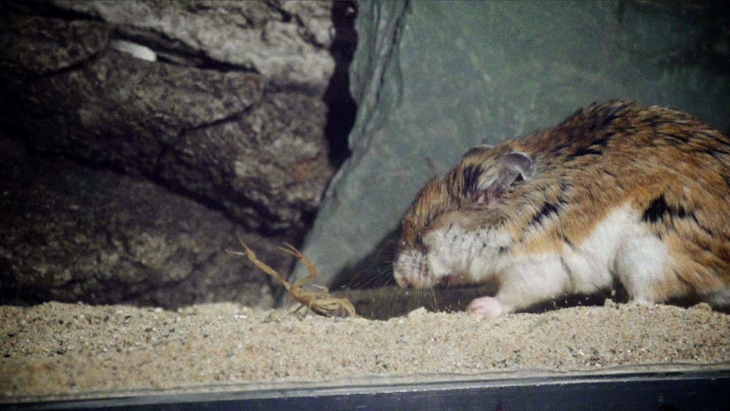 he Southern grasshopper mouse, seen here with eyes closed for protection, is able to withstand repeated scorpion stings while subduing its prey