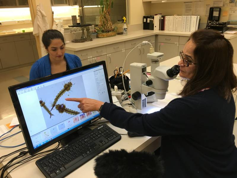 Entomologist Nayer Zahiri points to mosquito larvae under a microscope at the San Mateo County Mosquito and Vector Control District's lab.
