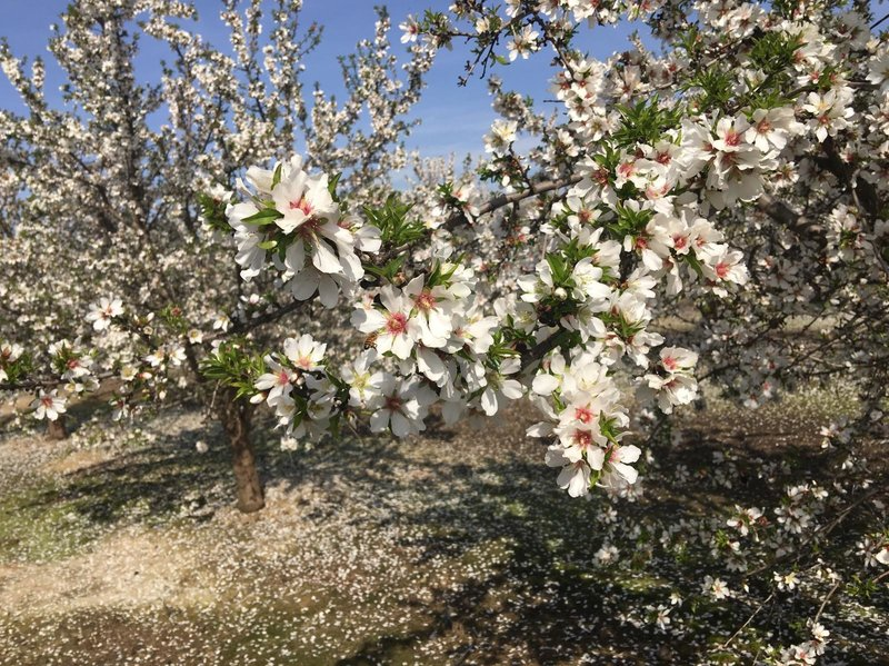 Ben Barra guesses there are a couple thousand acres of the Independence almond variety in California. He says there is a growing waiting list for new sprigs of the tree.