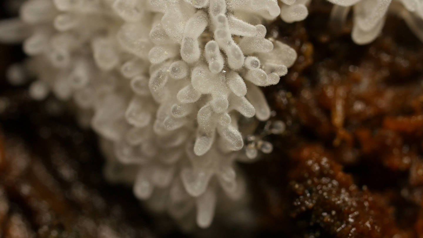 Even though they're not fungi or plants, slime molds can act like them. This honeycomb coral slime mold on a redwood log in Oakland has produced fruiting bodies that will eventually open up and spread spores.