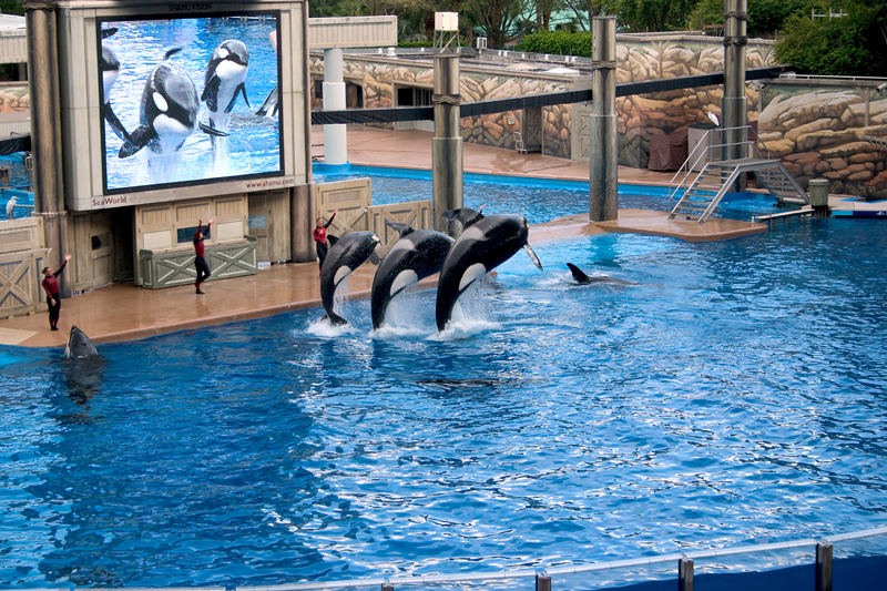 Scientists Bemoan SeaWorld Decision to Stop Breeding Orcas
