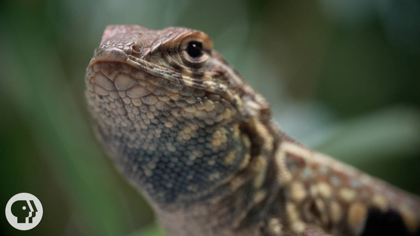 These Lizards Have Been Playing Rock-Paper-Scissors for 15 Million Years