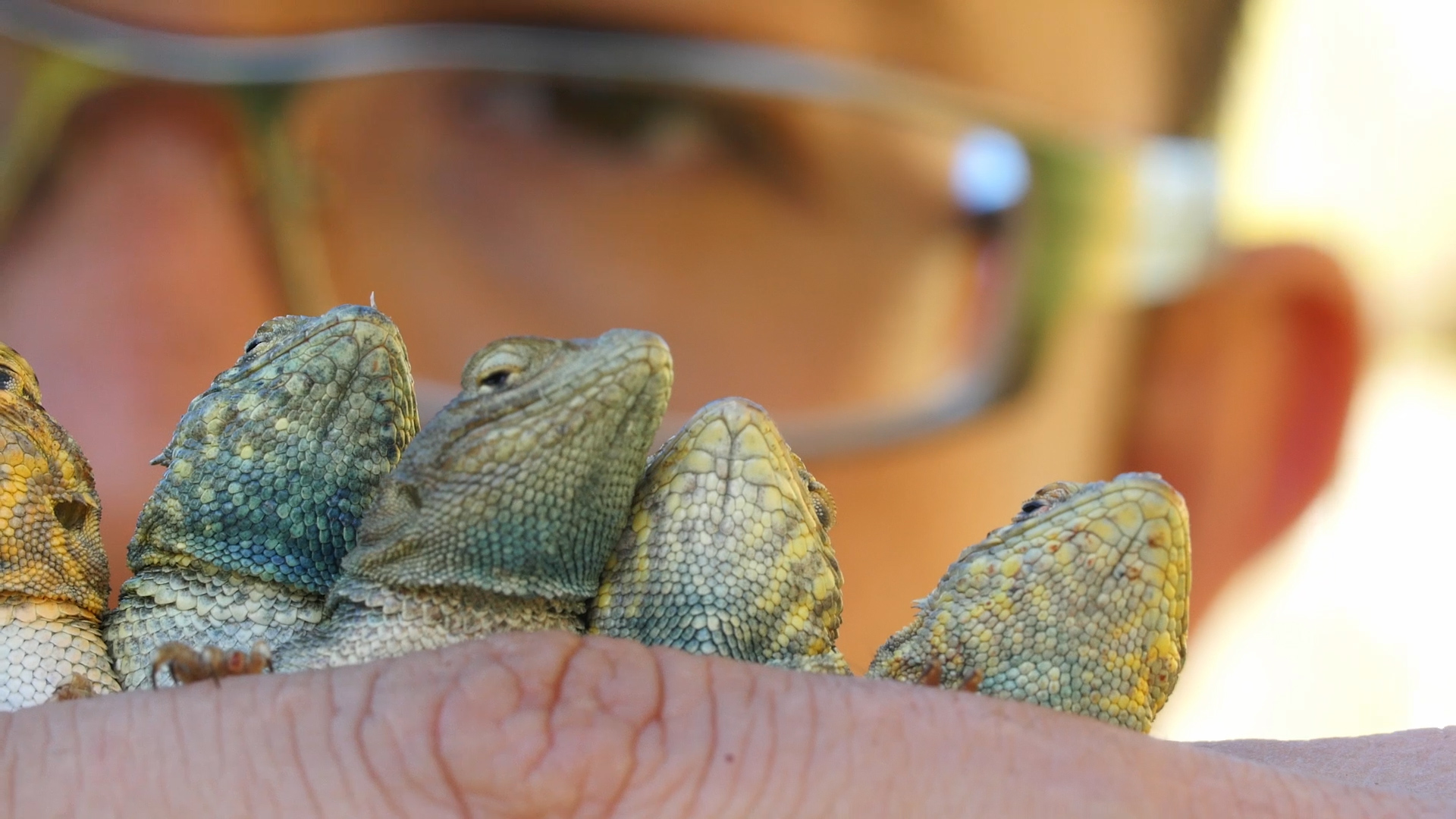 Rafa Lara, a member of the UC Santa Cruz research team, looks at the variation in throat color while collecting side-blotched lizards