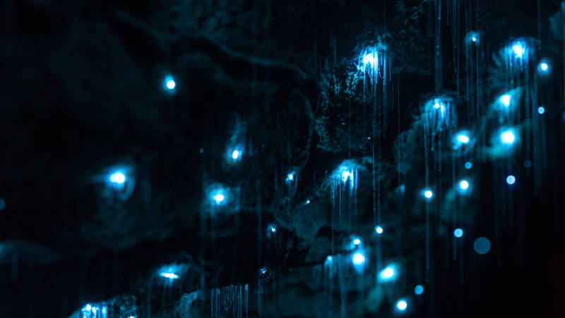 The glow worms drop threadlike snares that entangle flying prey.