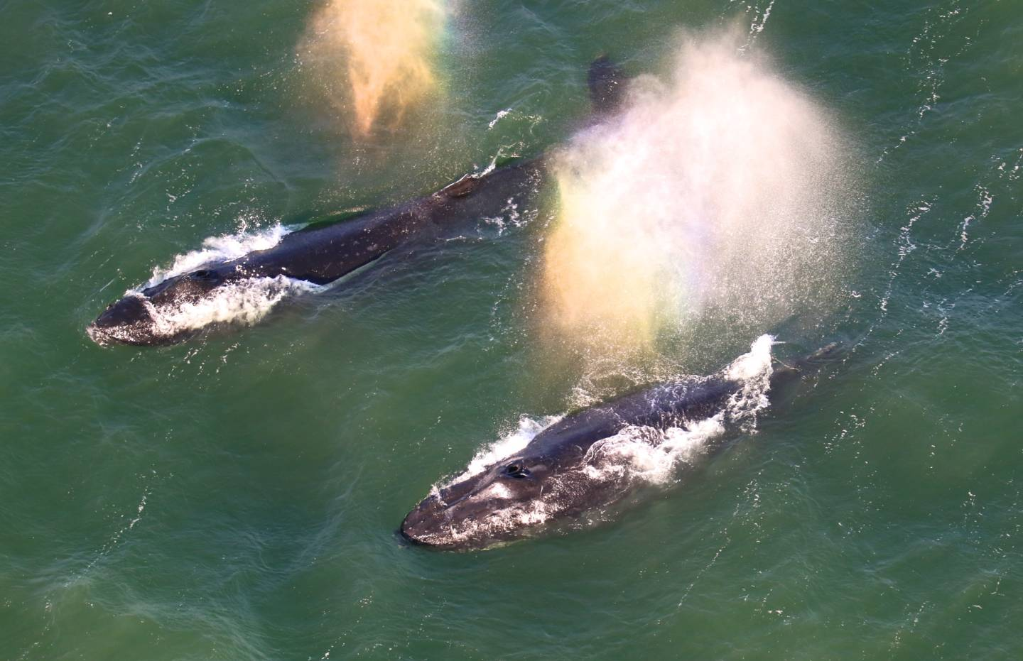 Two humpbacks whales sighted inside the bay on May 15. Bill Keener/Golden Gate Cetacean Research
