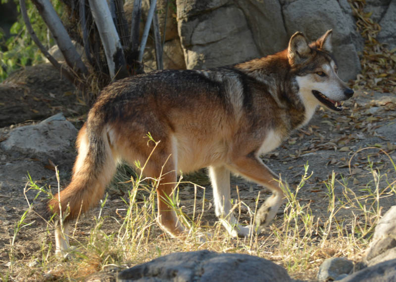 A captive Mexican wolf at The Living Desert. There are over 240 captive wolves in facilities in the U.S. and Mexico.