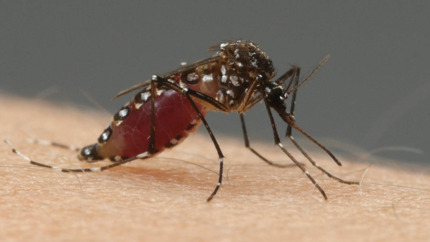 Aedes aegypti mosquitoes transmit the viruses that cause Zika and dengue. They bite during the day and can lay their eggs in as little as a bottle-cap-full of water.
