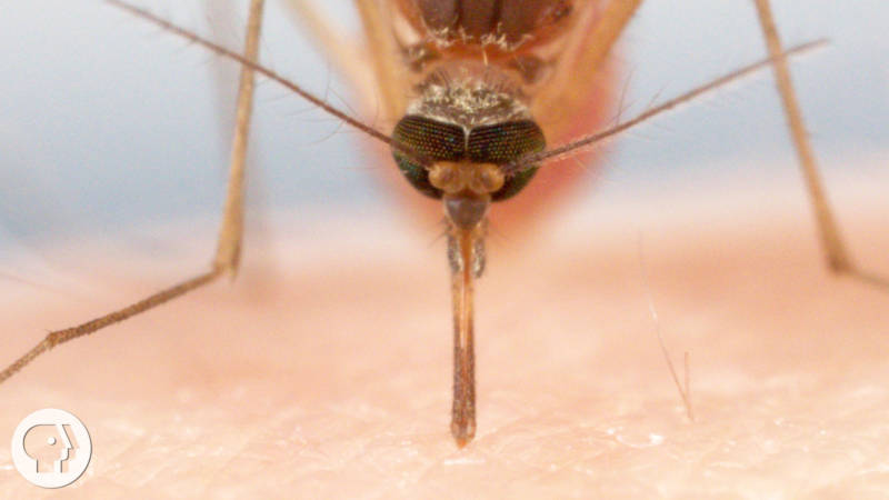 How Mosquitoes Use Six Needles to Suck Your Blood