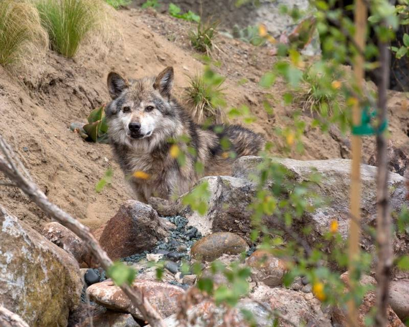 The new wolves at the SF Zoo are part of a captive breeding program, started in the mid-1970s when the wild population was nearly obliterated.