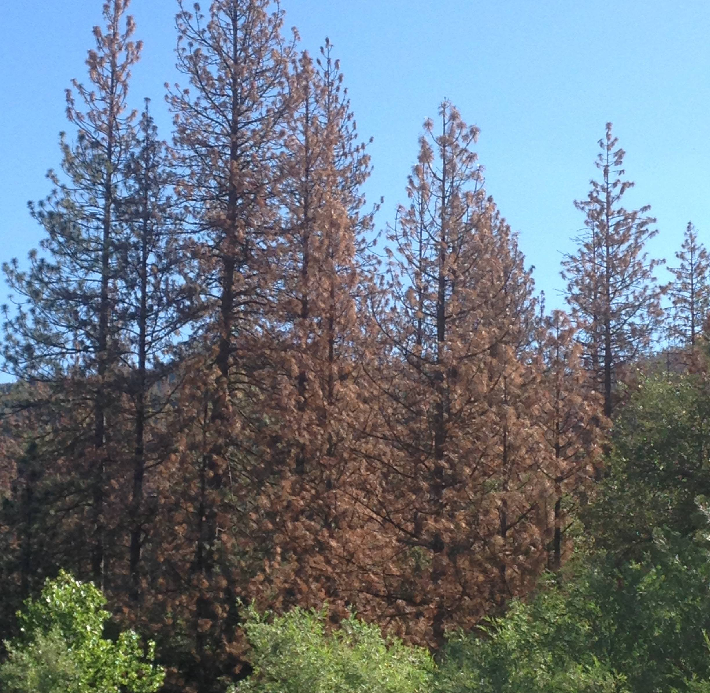 These Ponderosa pines in the Sierra Nevada are a few of the 29 million trees in California's forests left dead after more than four years of unprecedented drought.