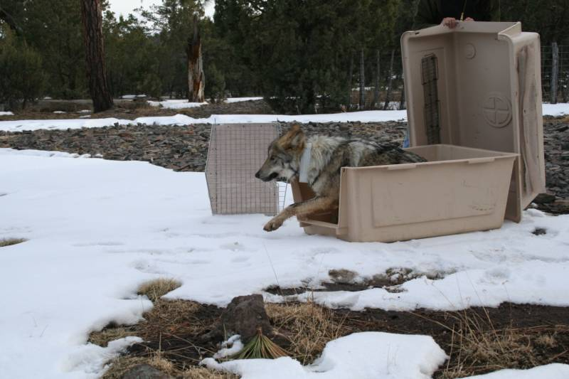 A Mexican wolf is released into the mountains in eastern Arizona as part of the Mexican Wolf Species Protection Plan.